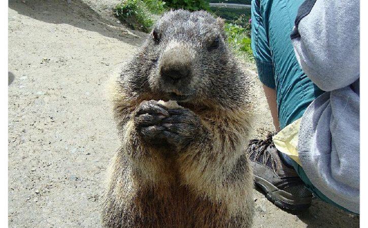marmot-prie-jaculatoire