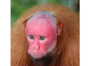 singe-chauve-alopecie