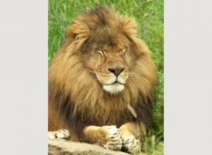 lion-prie-malheur-imprecation