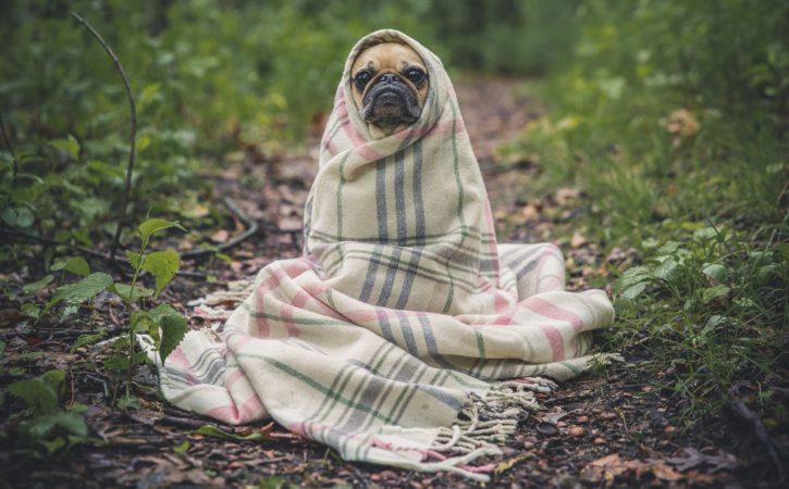 chien-dans-couverture-embobeliner