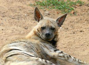 hyenne-couche-voleuse-galvaudeux