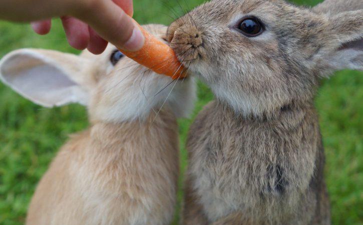 lapins-mangent-carotte-crudite