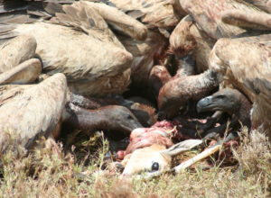 vautours-mangent-antilope-biffrer