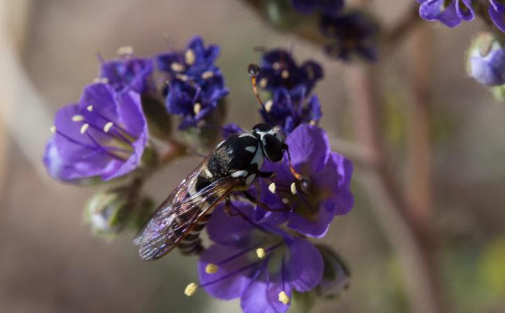 abeille-sur-fleur-violettes-heliotrope