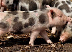cochons-petits-bagarre-pointille
