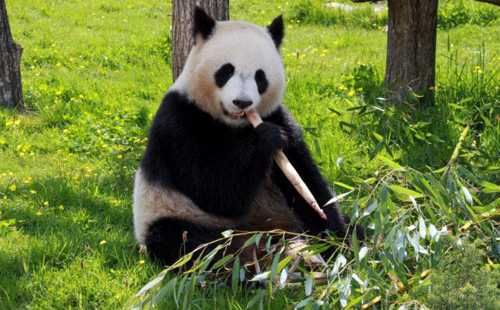 panda-mange-tranquille-boulotter