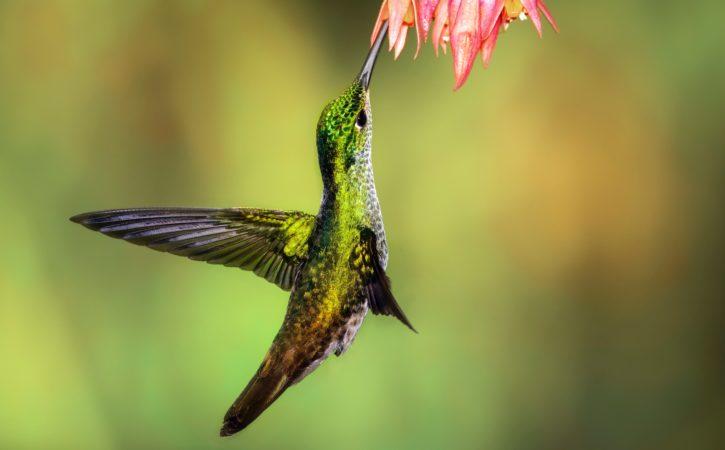 oiseau-colibri-vert-qintessencié
