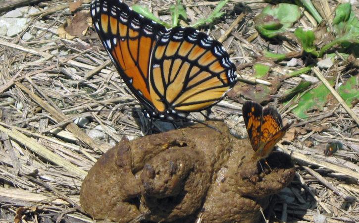 papillons-oranges-sur-une-crotte