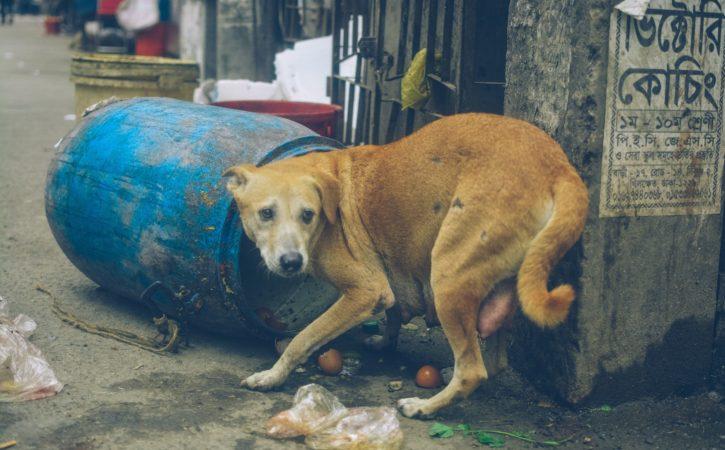 chien-misereux-poubelle-purotin