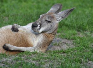 kangourou-couche-doute-arguments-cavillation