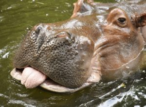 hippopotame-tire-langue-vilain-rosserie