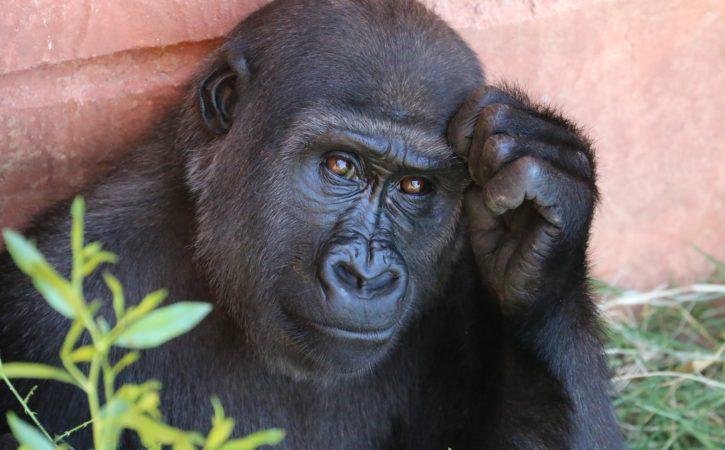 gorille-pensif-reflechi-aporie