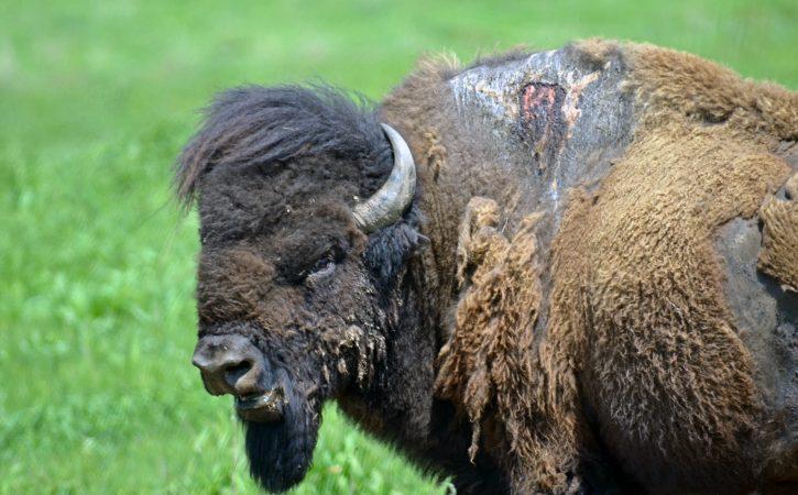 bison-blesse-fache-tudesque