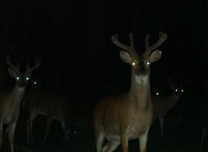 cerfs-dans-la-nuit-nyctalope