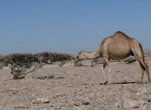 chameau-desert-arbre-sec-dessiccation