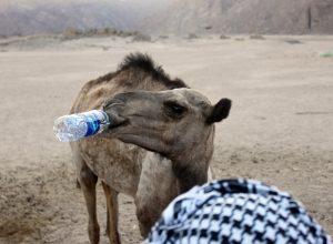 chameau-desert-soif-potomanie