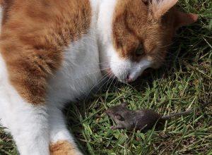 chat-avec-souris-mansuetude