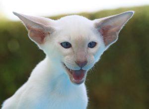 chat-blanc-grandes-oreilles-mephistophelique