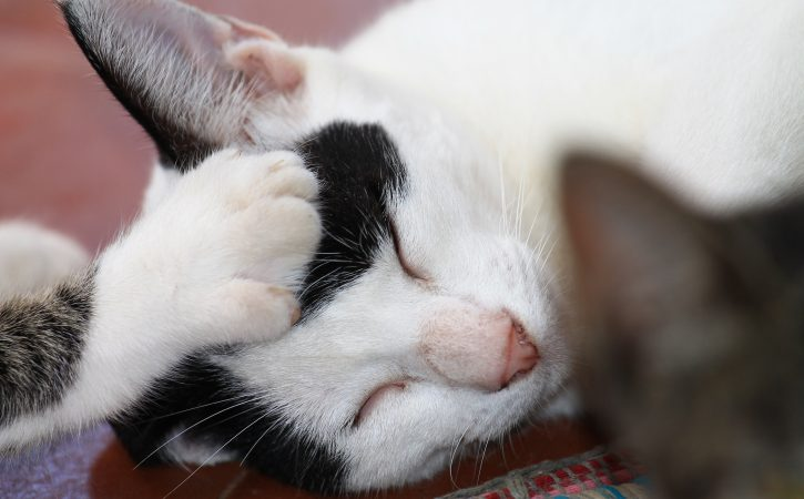 chat-calin-tete-chat-attoucher