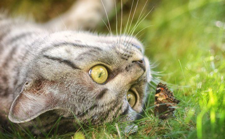 chat-papillon-challoir
