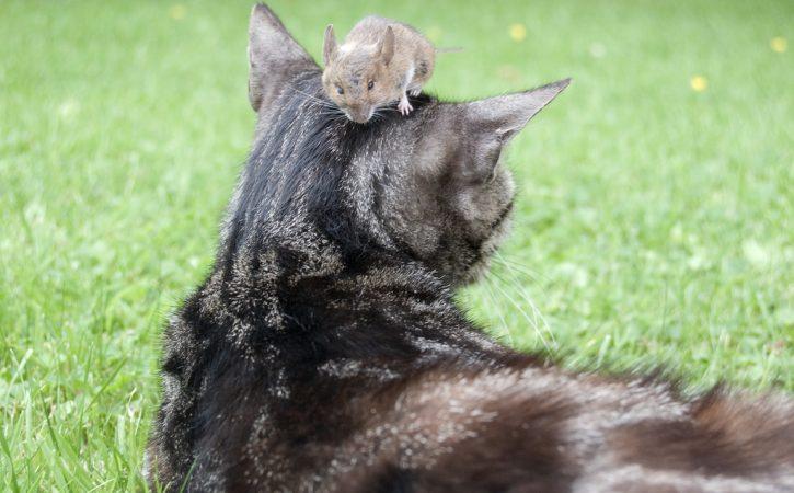 chat-souris-sur-la-tete-imperitie