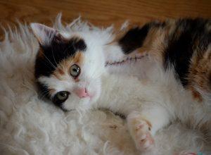chat-trois-pattes-claudiquer