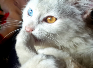 chat-yeux-bleu-jaune-nonobstant