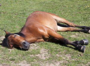 cheval-dort-couche-mazette