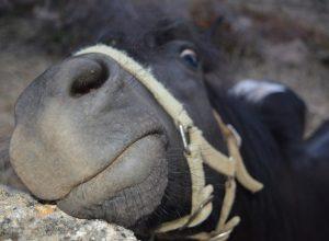 cheval-fache-gourmander