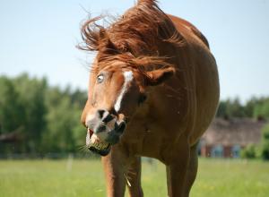 cheval-grimace-billevesee
