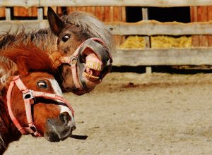 chevaux-fous-grimace-intemperant