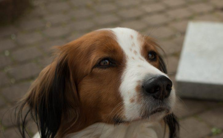 chien-beau-pensif-probite