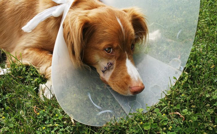 chien-cicatrice-museau-taler
