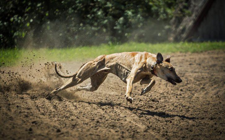 chien-course-putatif