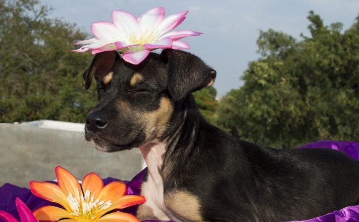 chien-fleur-tete-content-colifichet