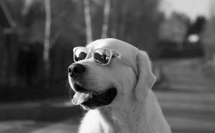 chien-lunette-cool-surerogatoire
