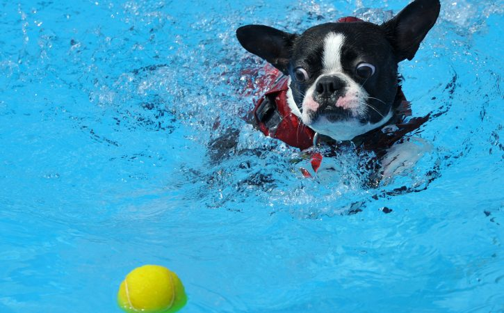 chien-piscine-desire-balle-concupiscent