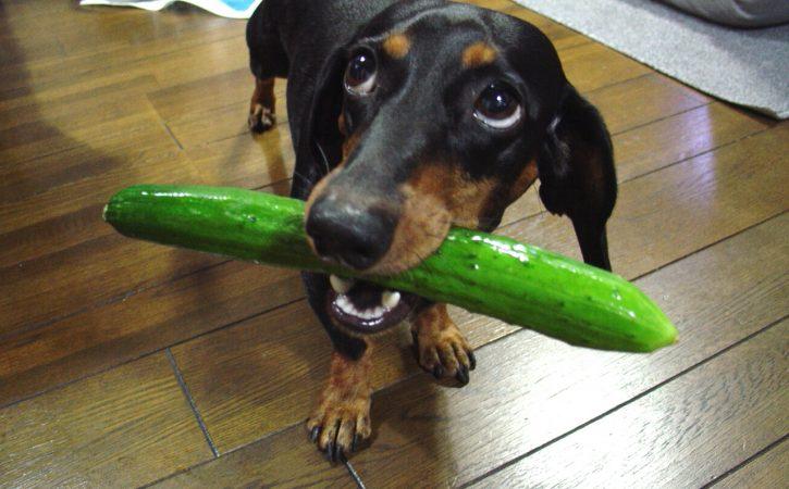 chien-tient-comcombre-nantir