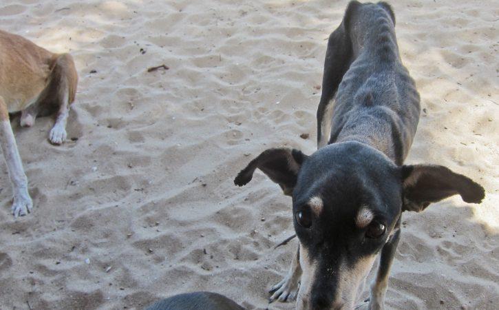 chien-tres-maigre-etique