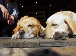 chiens-sieste-promenade-proroger