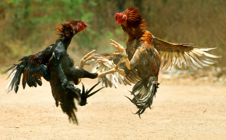 coqs-combat-plumes-capilotade