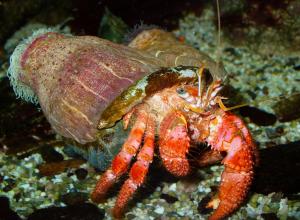 crabe-rose-sibyllin