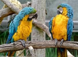 deux-perroquets-glossolalie