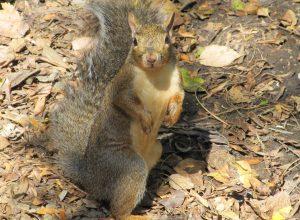 ecureuil-debout-palinodie