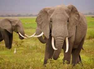 elephants-deffences-chryselephantin