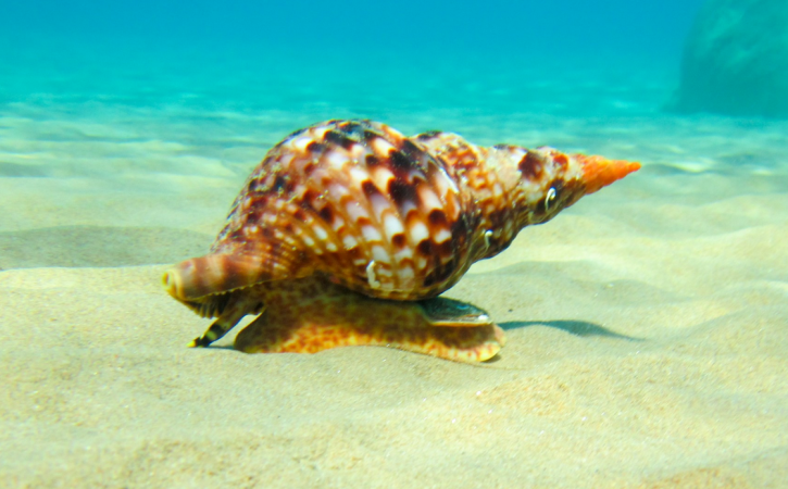 escargot-marin-marie-salope