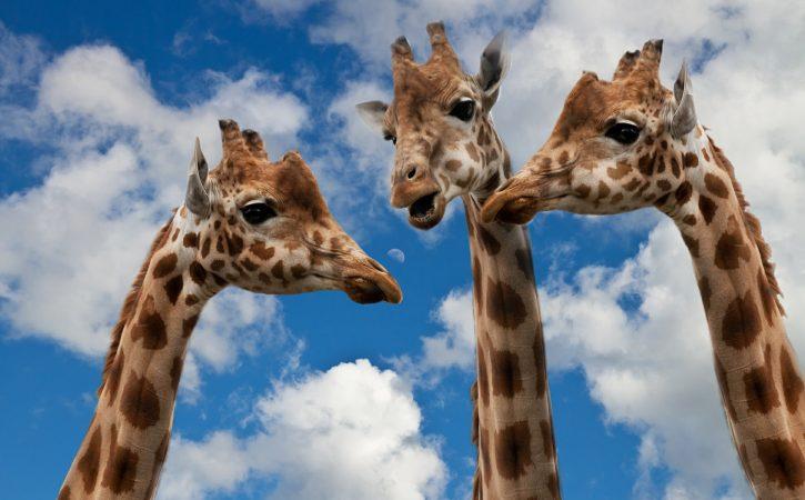 girafes-discutent-jaspiner
