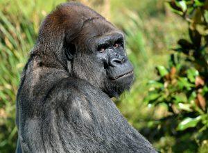 gorille-grosse-nuque-occiput