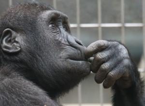 gorille-qui-pense-maieutique