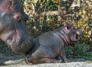 hippopotame-pousse-bebe-coercitif